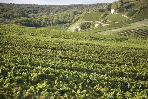 Vineyards in the Champagne-Andenne, photo by Jacqueline Widmar Stewart